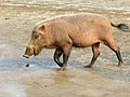 Bearded Pig (Sus barbatus) female (8220048035).jpg