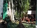 Beaucarnea recurvata-1-yercaud-salem-India.JPG