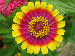 Beautiful zinnia-cropped-big2.jpg