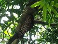 Bee on Mango tree.jpg
