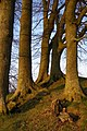 Beech trees at Avebury's southern entrance - geograph.org.uk - 1098468.jpg