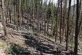 Beetle-killed pines (9361102767).jpg