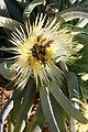 Beetles polinating Conicosia elongata (Aizoaceae) (37387389386).jpg