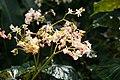 Begonia brachypoda IMG 1338.jpg