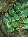 Begonia hydrocotylifolia 2019-04-16 0896.jpg