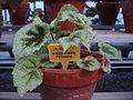 Begonia masoniana Tricolor.JPG