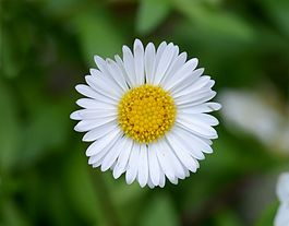 Bellis March 2014-1.jpg