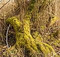 Bemoste, geteisterde boomstronken aan voetpad naar vogelkijkhut De Schollevaar. Locatie, Oostvaardersplassen 02.jpg