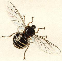 Acroceridae