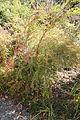 Berberis sanguinea (Berberis panlanensis) - Quarryhill Botanical Garden - DSC03291.JPG