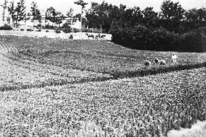 Economy of Bermuda - One of the over 200 Bermuda lily fields in 1926.