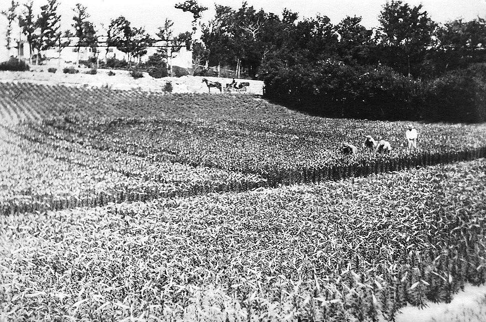 Bermuda lily field 1926