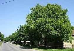Betonska ulica-drvored.jpg