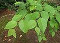 Betula dahurica kz09.jpg