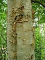 Betula ermanii ÖBG 09-07-16 01.jpg