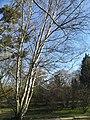 Betula papyrifera in Poznan Botanical Garden (1).jpg