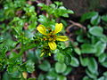 Bidens hillebrandiana subsp. polycephala (5743904376).jpg