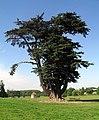Big Cedar, Brightwell Park (geograph 2026574).jpg