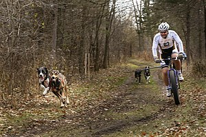 Bikejoring - Bikejoring race in North America with an Alaskan Husky and a Eurohound