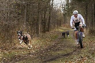 Bikejoring - Bikejoring race in North America with an Alaskan Husky and a Eurohound