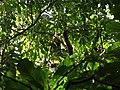 Bird Great Hornbill Buceros bicornis IMG 8659 28.jpg