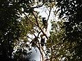Bird Wreathed Hornbill Rhyticeros undulatus IMG 9195 (14).jpg