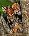 Birds nest robins (17549346460).jpg