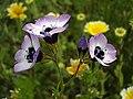 Birdseye Gilia (58032199).jpg