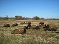Bison Shelby Farms Park Memphis TN 002.jpg