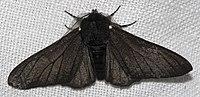 Black morph in peppered moth evolution