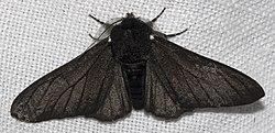 Biston betularia morpha carbonaria, the melanic Peppered Moth, illustrating discontinuous variation.