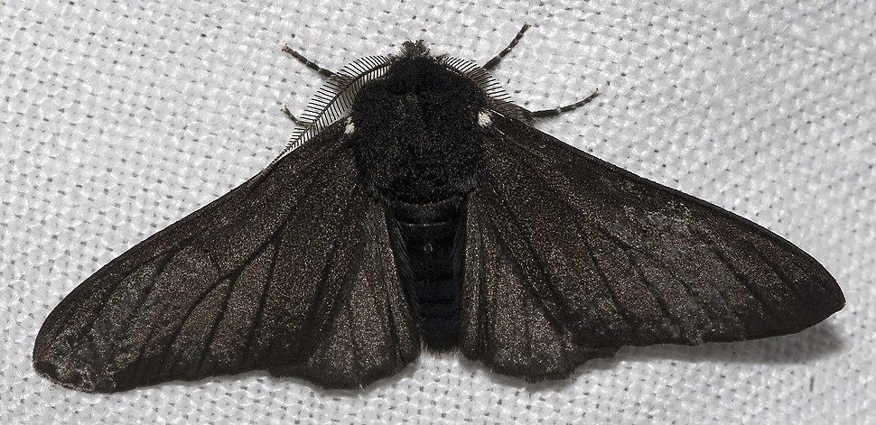 Biston.betularia.f.carbonaria.7209