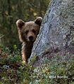 Björnskådning Wild Nordic q7f6074.jpg
