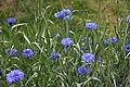 Blåklint (Centaurea cyanus) 03314.jpg
