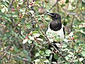 Black-billed magpie on Seedskadee National Wildlife Refuge (35358739923).jpg