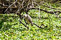 Black-crowned night heron (immature) (20260425822).jpg