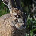 Black-tailed jackrabbit (6338626540).jpg
