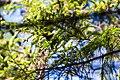 Black-throated green warbler (27430228843).jpg