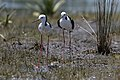 Black-winged Stilt (31535445551).jpg