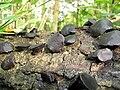 Black Bulgar (Bulgaria inquinans) (5049176588).jpg