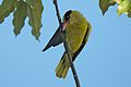 Black Naped Oriole (6789338374).jpg