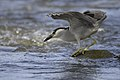 Black crowned night heron.BDT3381.jpg