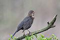 Blackbird Lodz(Poland)(js)02.jpg
