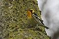 Blackburnian Warbler - Point Pelee - Ontario (38916652455).jpg