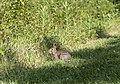 Blacklick Woods - Eastern cottontail feeding 1.jpg