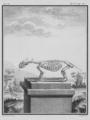 Blaireau, Squelette - Badger, Skeleton - Gallica - ark 12148-btv1b2300254t-f12.png