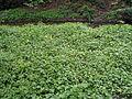 BlarneyGardens1.jpg