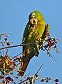 Blue-crowned Parakeet (Aratinga acuticaudata) (31637883242).jpg