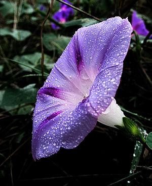 Ipomoea purpurea - Image: Blue Morning Glory