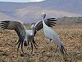 Blue Cranes (Anthropoides paradiseus) couple parading ... (32457893122).jpg